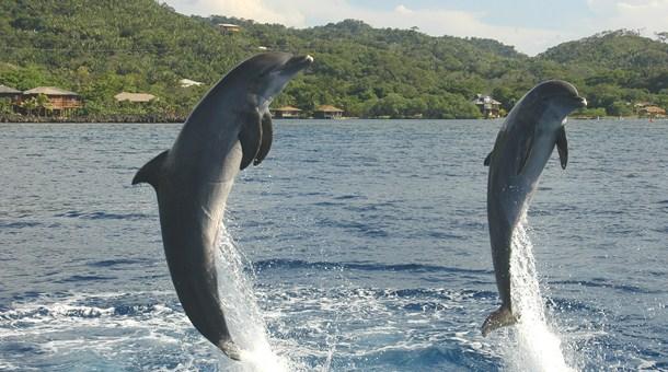 delfines-en-roatan